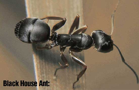 Black house Ant