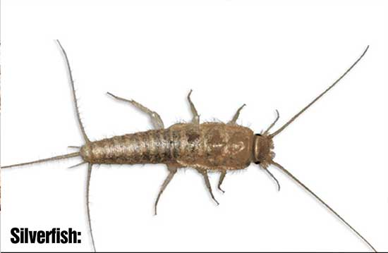Black house Ant